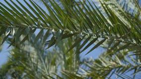 反对蓝天的棕榈分支与小全景 影视素材