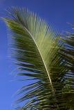 反对蓝天的棕榈叶状体 库存图片