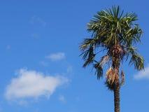 反对蓝天的棕榈树与一朵云彩 库存图片
