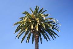 反对蓝天的棕榈树,加州 图库摄影