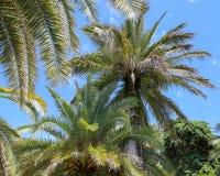 反对蓝天的棕榈树 亚热带气候 库存图片
