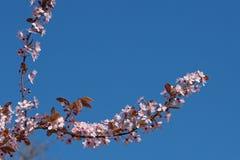 反对蓝天的樱桃树。 库存图片