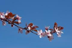 反对蓝天的樱桃树 库存图片