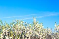 反对蓝天的樱花 在结构树的白花 图库摄影