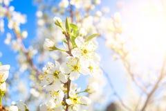 反对蓝天的樱花 在结构树的白花 免版税库存照片