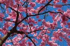 反对蓝天的樱花 免版税库存图片