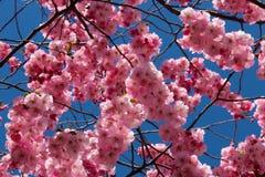 反对蓝天的樱花 免版税库存照片