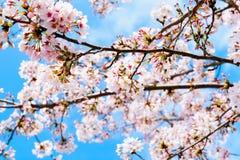 反对蓝天的樱花 库存照片