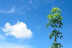 反对蓝天的橡胶树 库存照片