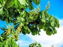 反对蓝天的欧洲七叶树树 免版税库存图片