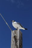 反对蓝天的海鸥,马拉松,佛罗里达 免版税图库摄影