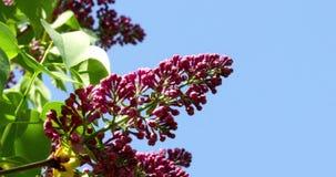 反对蓝天的淡紫色花 股票录像