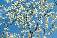 反对蓝天的白色山茱萸开花 免版税库存照片