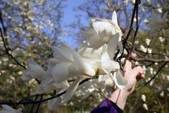 反对蓝天的白色木兰 库存图片