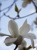 反对蓝天的白色木兰 免版税库存图片