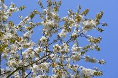 反对蓝天的白色树开花 免版税库存照片