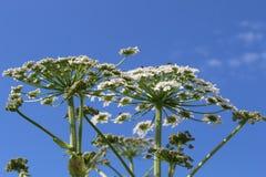 反对蓝天的白色植物 免版税库存图片