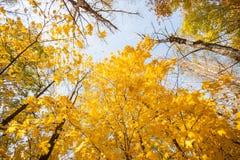 反对蓝天的秋天槭树 免版税图库摄影