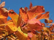 反对蓝天的秋季红色叶子 图库摄影