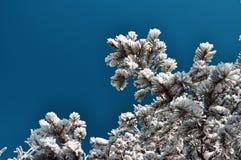 反对蓝天的积雪的冷杉分支 免版税库存照片