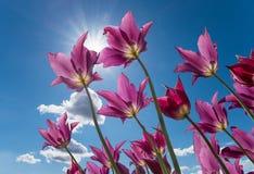 反对蓝天的紫色郁金香与太阳和云彩 免版税库存图片