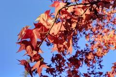 反对蓝天的红槭叶子 图库摄影