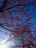 反对蓝天的红糖槭种子 免版税库存图片