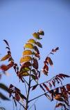 反对蓝天的红色绿色和黄色叶子 库存照片