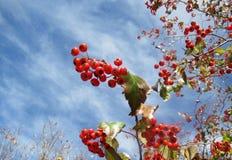 反对蓝天的红色莓果在秋天 库存图片