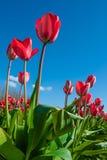 反对蓝天的红色郁金香在Skagit郁金香节日 库存图片