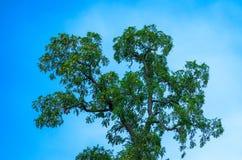 反对蓝天的绿色树上面 库存照片