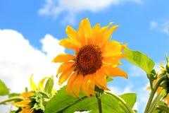 反对蓝天的美丽如画的黄色向日葵 库存图片