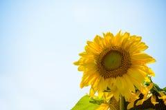反对蓝天的美丽的明亮的向日葵 库存图片