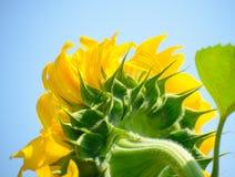 反对蓝天的美丽的明亮的向日葵 库存照片
