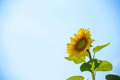 反对蓝天的美丽的明亮的向日葵 免版税图库摄影