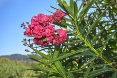 反对蓝天的美丽的桃红色夹竹桃 库存图片