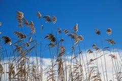 反对蓝天的美丽的纸莎草 库存图片