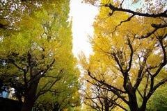 反对蓝天的美丽的银杏树树在美济礁津沽Gaien的秋天停放,东京- JapanThe银杏树树的秋天颜色 免版税库存图片