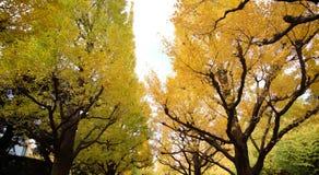 反对蓝天的美丽的银杏树树在美济礁津沽Gaien的秋天停放,东京- JapanThe银杏树树的秋天颜色 免版税库存照片