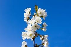 反对蓝天的背景的白花 免版税图库摄影