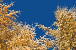 反对蓝天的落叶松属分支 图库摄影