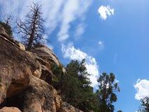 反对蓝天的被烧的杉树, Mesa Verde,犹他 免版税库存图片