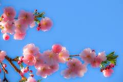 反对蓝天的软的樱花 免版税库存图片