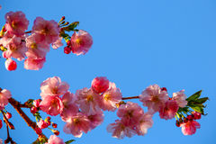 反对蓝天的软的樱花 库存照片