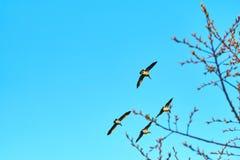 反对蓝天的野生鹅在日落太阳 免版税库存照片