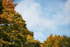 反对蓝天的金黄槭树在秋天 库存照片
