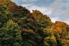 反对蓝天的金黄槭树在秋天 免版税库存照片