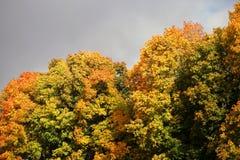 反对蓝天的金黄槭树在秋天 库存图片