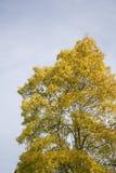 反对蓝天的金黄叶子 免版税图库摄影