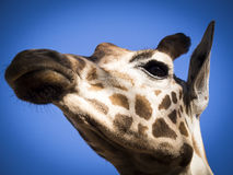 反对蓝天的长颈鹿面孔 免版税图库摄影